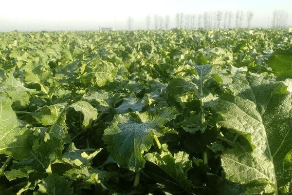 Wiosenne zabiegi fungicydowe w uprawie rzepaku