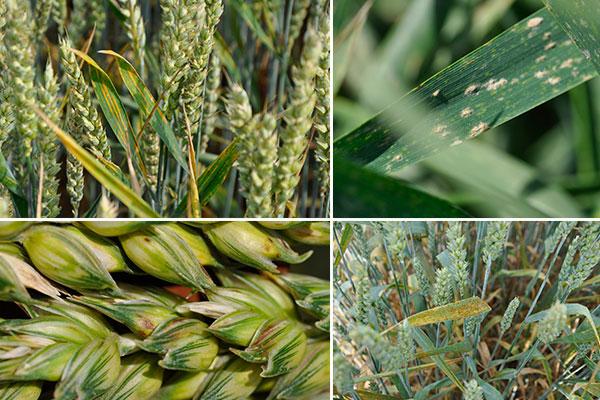 Skuteczna ochrona zbóż przed chorobami