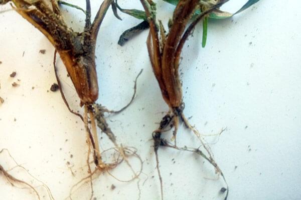 Zaprawy nasienne – pierwsza ochrona zbóż przed chorobami jesienią