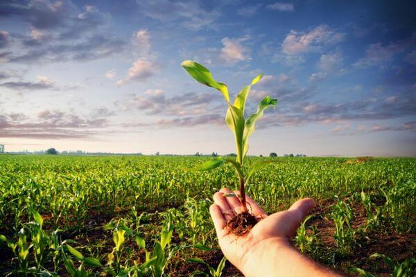 Skuteczne odchwaszczanie plantacji kukurydzy